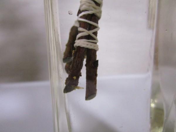 根が生えた本榊